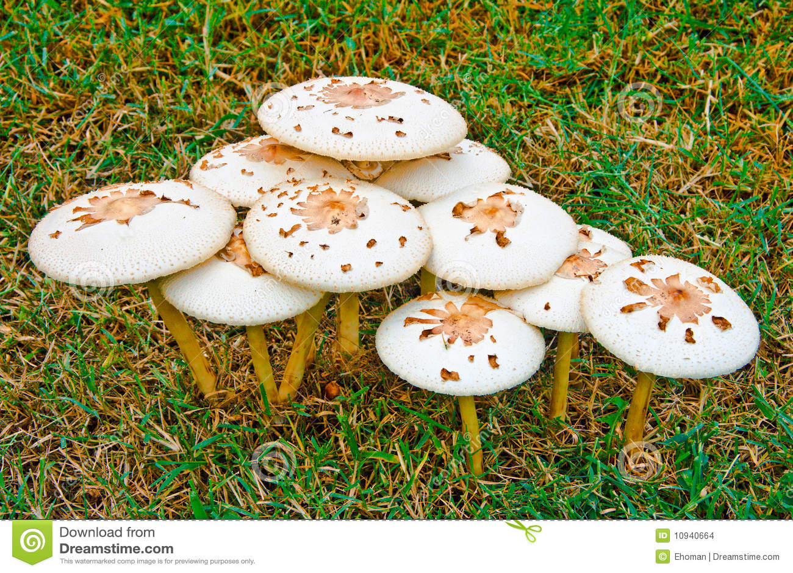 грибы лужайки комка
