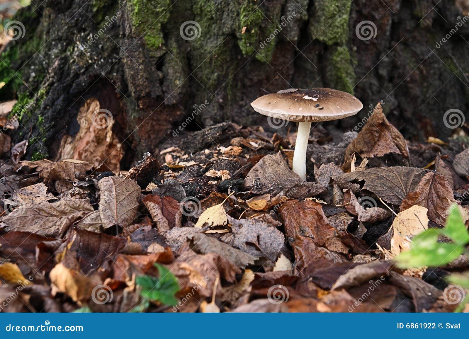 гриб листьев