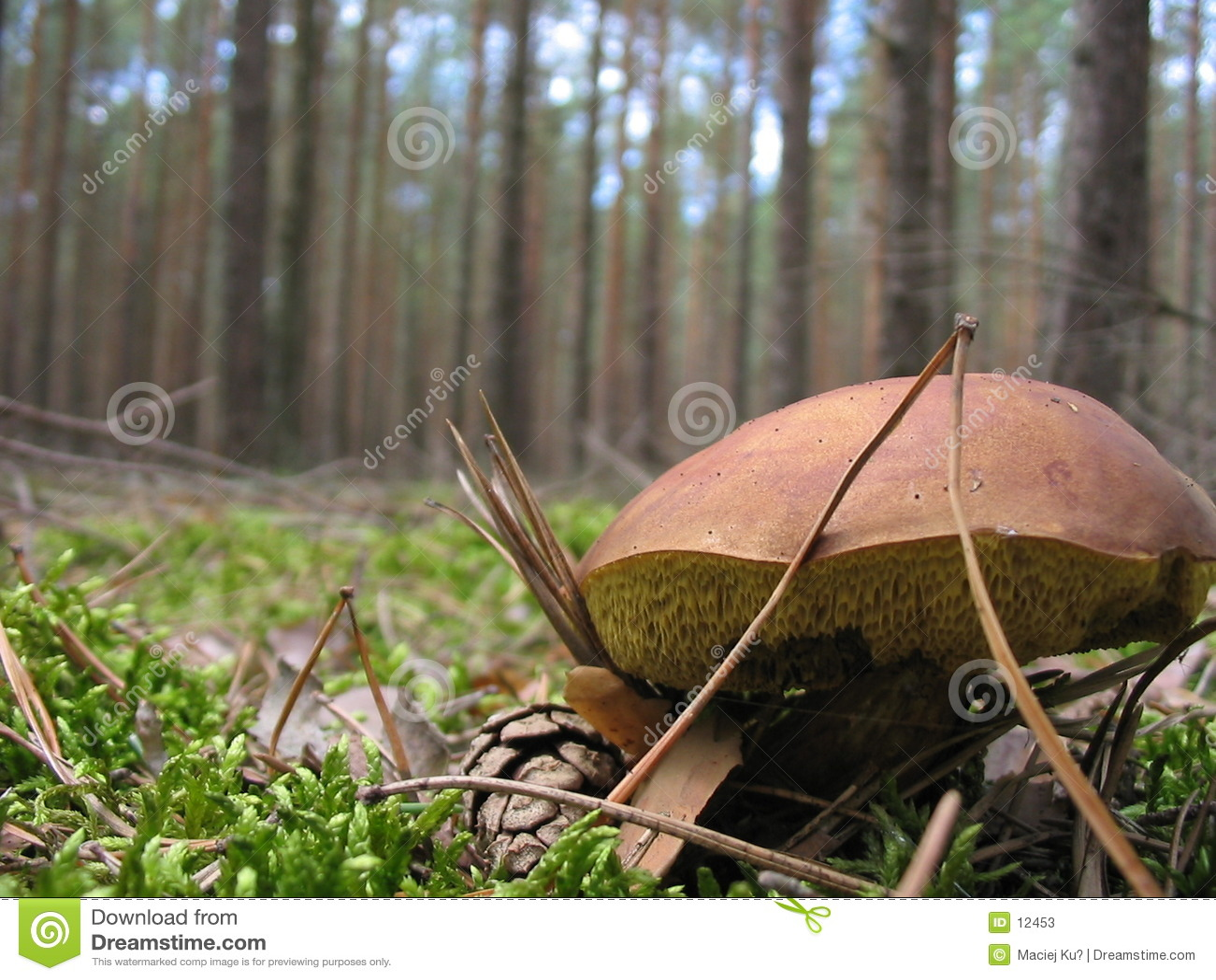 гриб одичалый