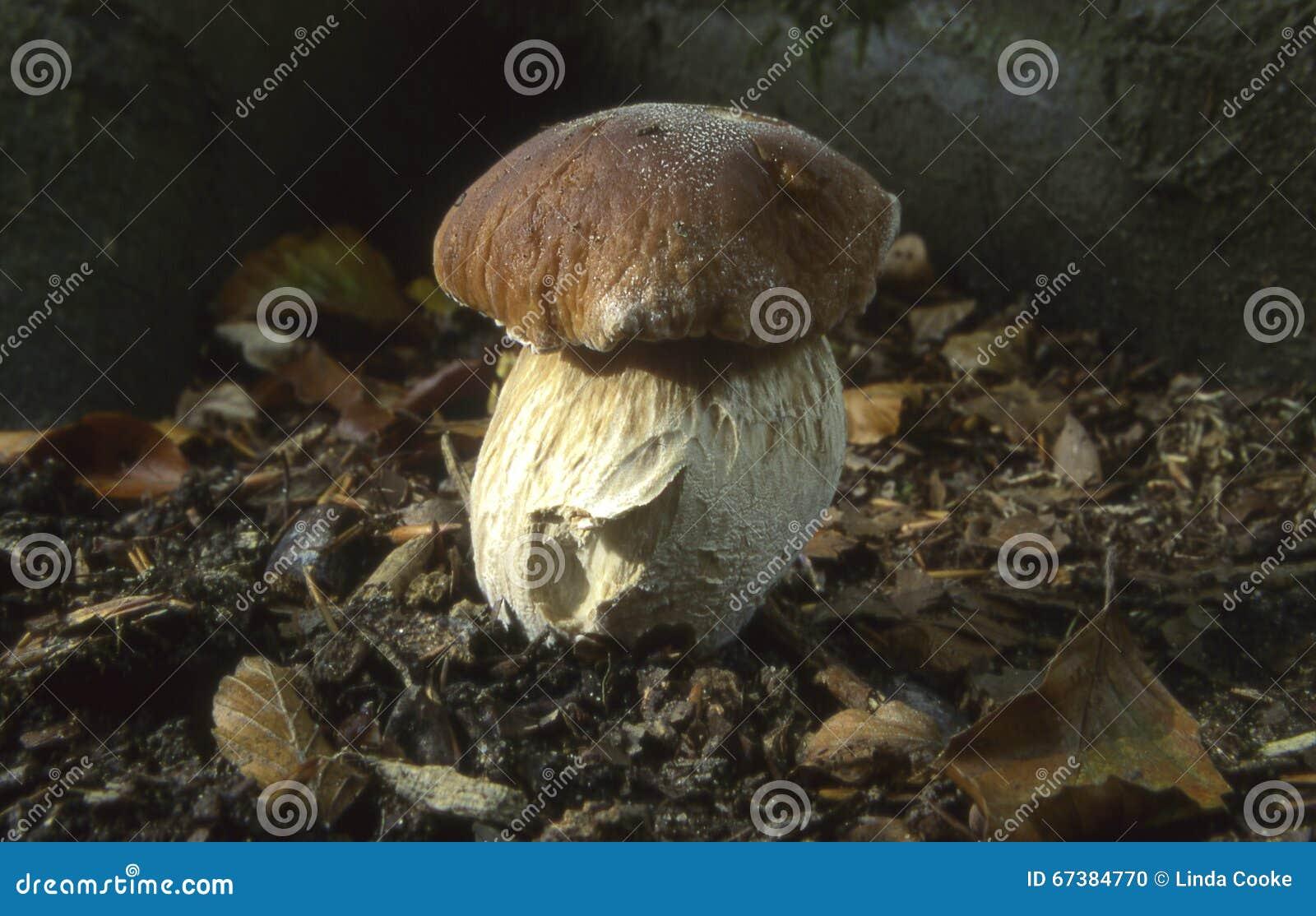 гриб подосиновика edulis
