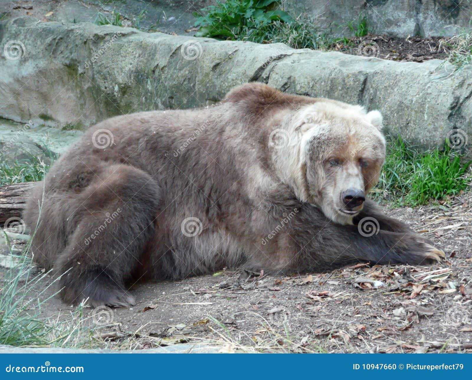 гризли медведя старое