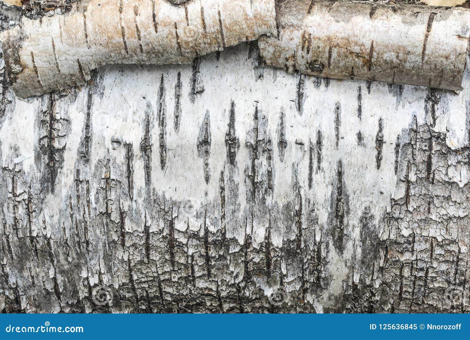Грубая расшива березы текстуры, свертывает белую кору дерева, абстрактную предпосылку