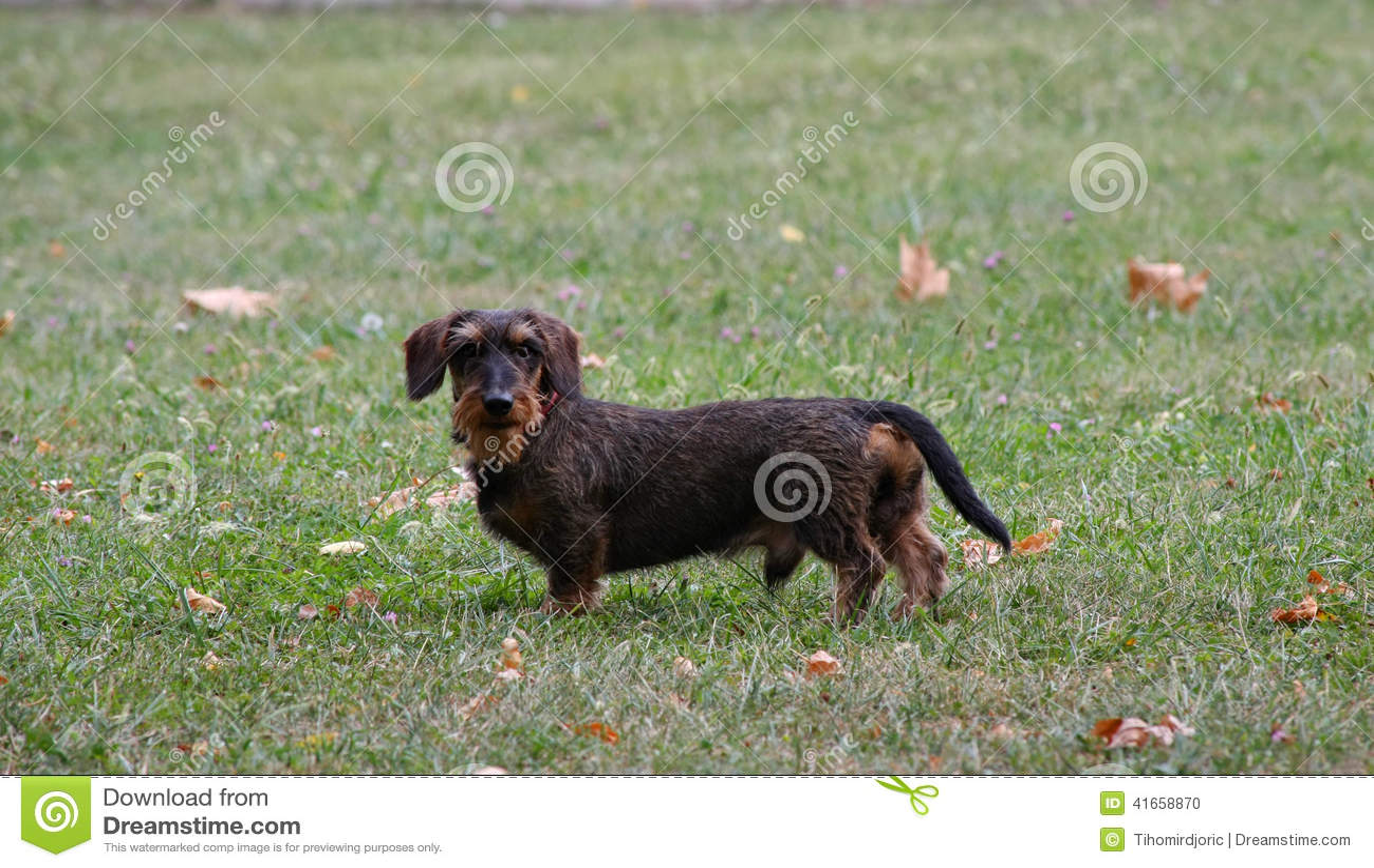 грубый dachshund с волосами
