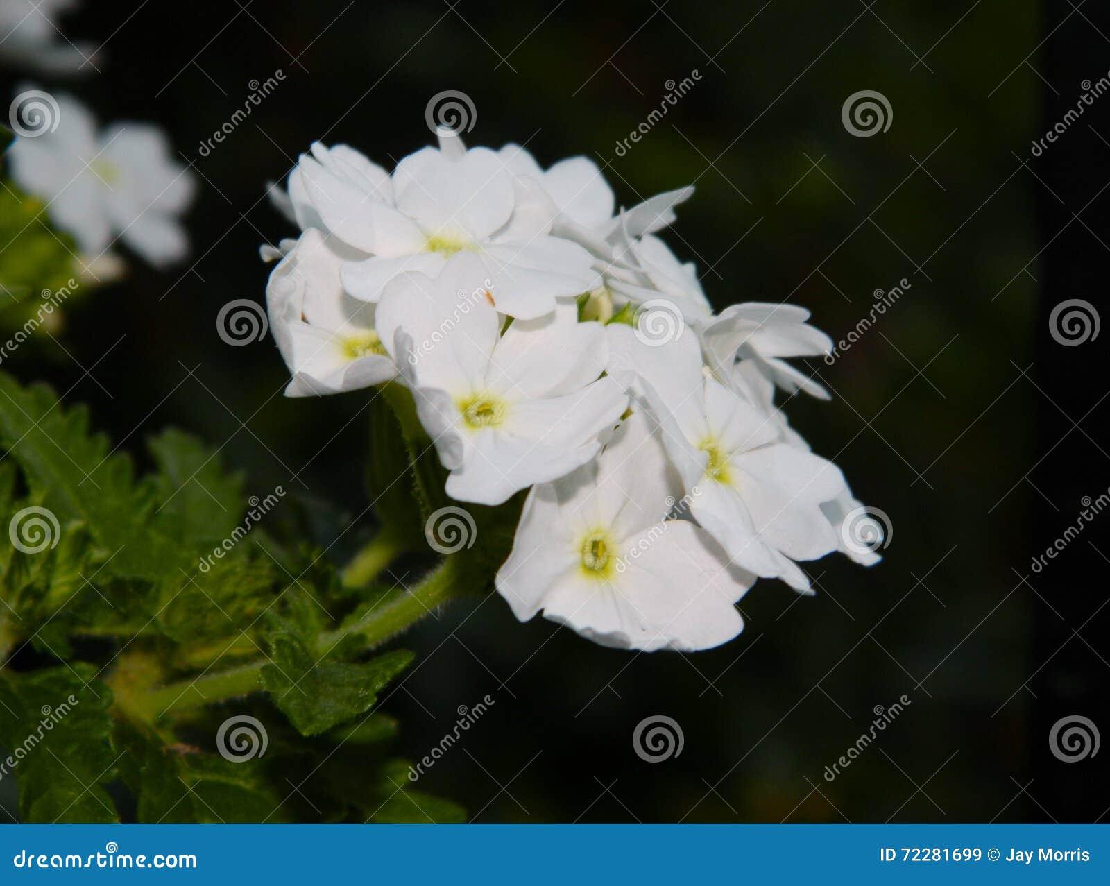 Download Группа белизны стоковое изображение. изображение насчитывающей цветки - 72281699