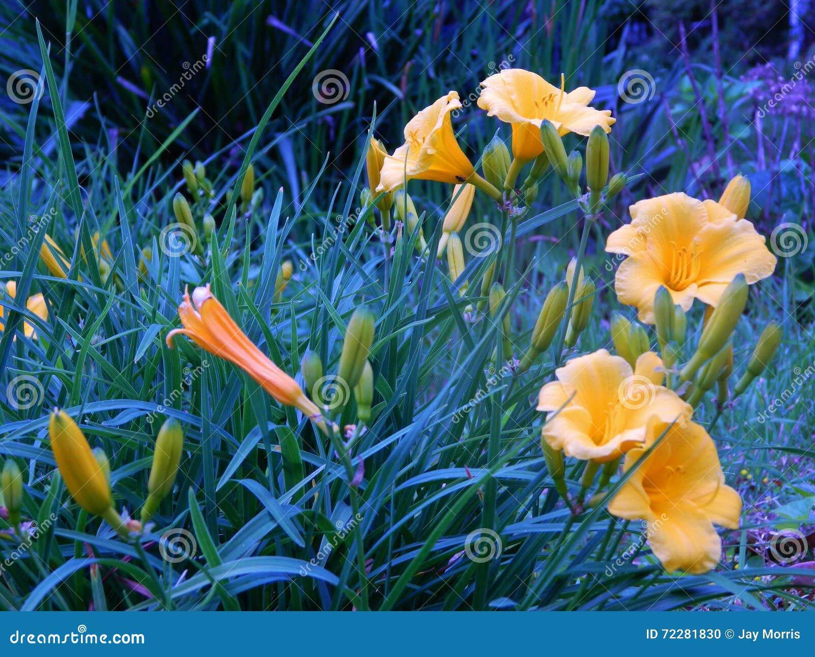 Download Группа белизны стоковое фото. изображение насчитывающей daffodils - 72281830