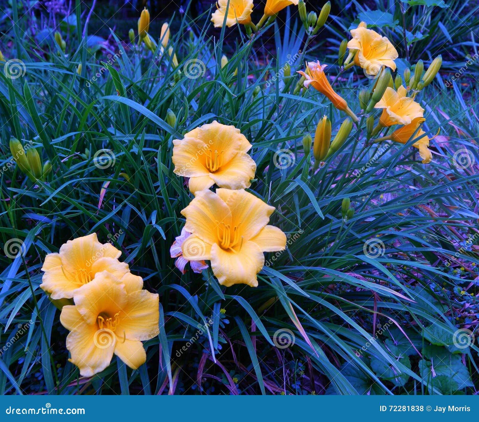 Download Группа белизны стоковое фото. изображение насчитывающей daffodils - 72281838