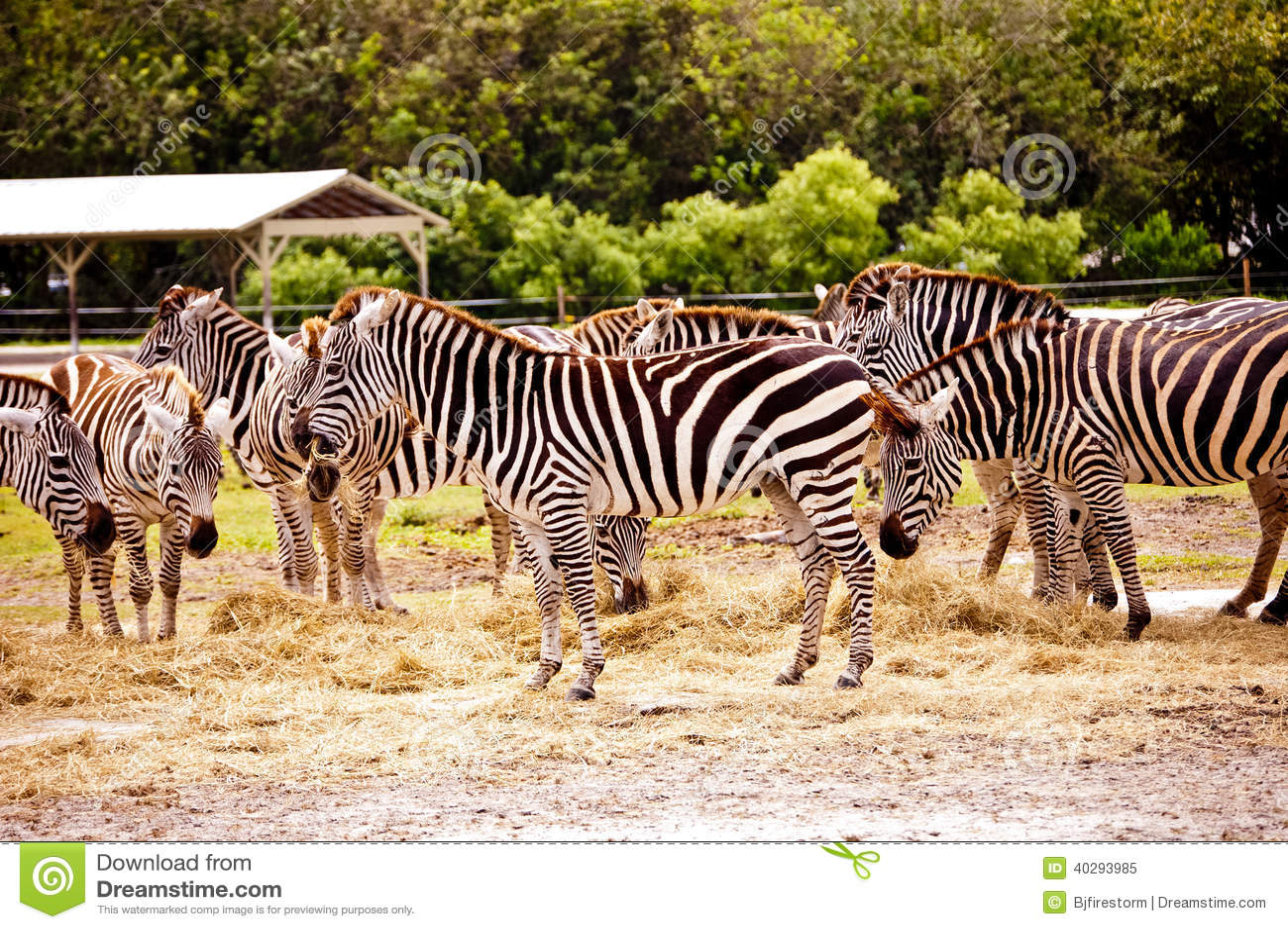 Группа в составе зебры