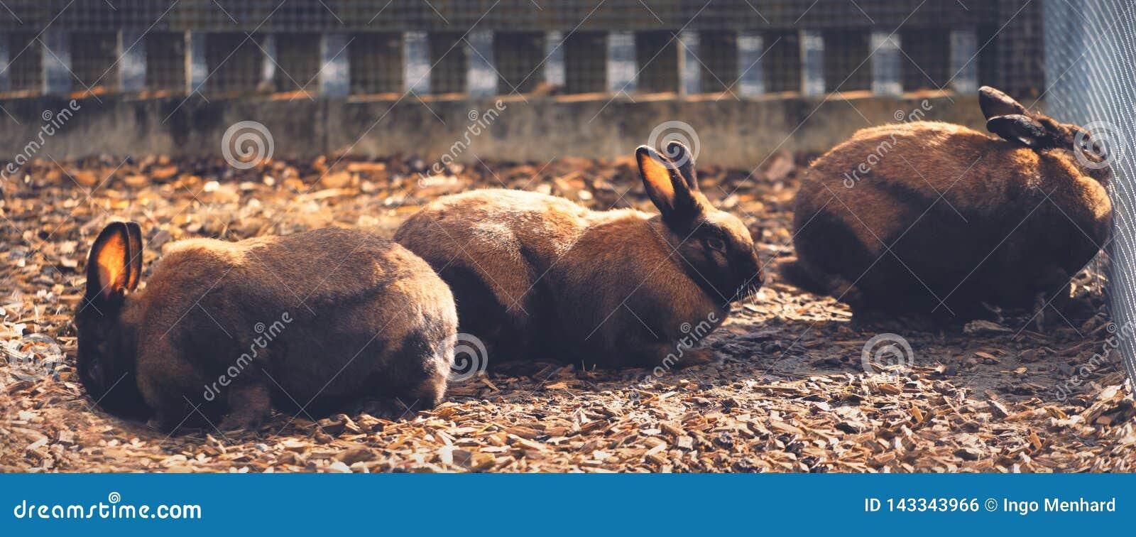 Группа в составе коричневые кролики за загородкой