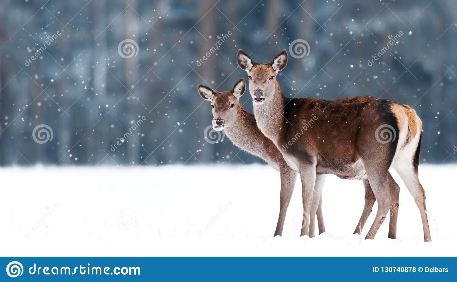 Группа в составе красивые женские грациозно олени на предпосылке elaphus Cervus оленей снежного леса зимы благородного