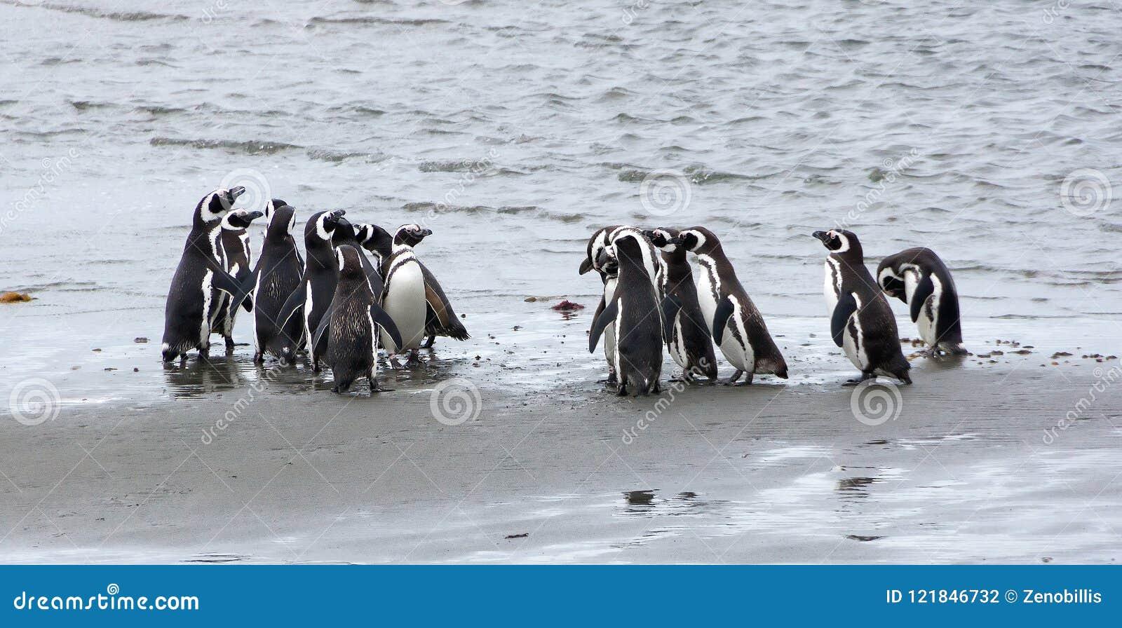 Группа в составе пингвины Magellanic на побережье океана в Патагонии, Чили