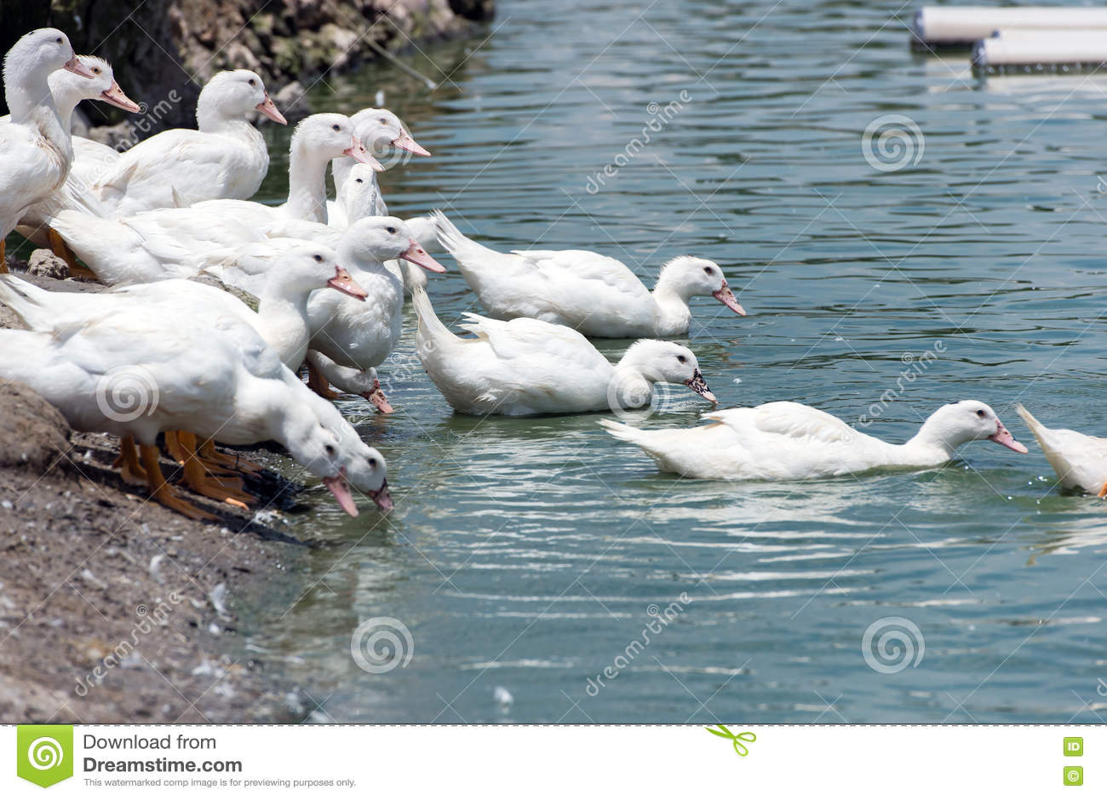 Download Группа в составе утки стоковое фото. изображение насчитывающей день - 72299474