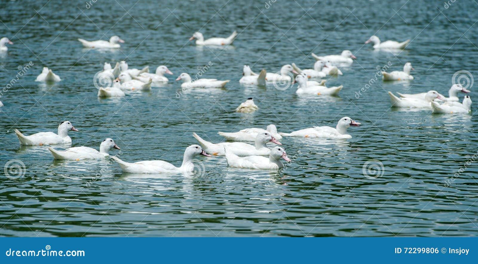 Download Группа в составе утки стоковое фото. изображение насчитывающей померанцово - 72299806