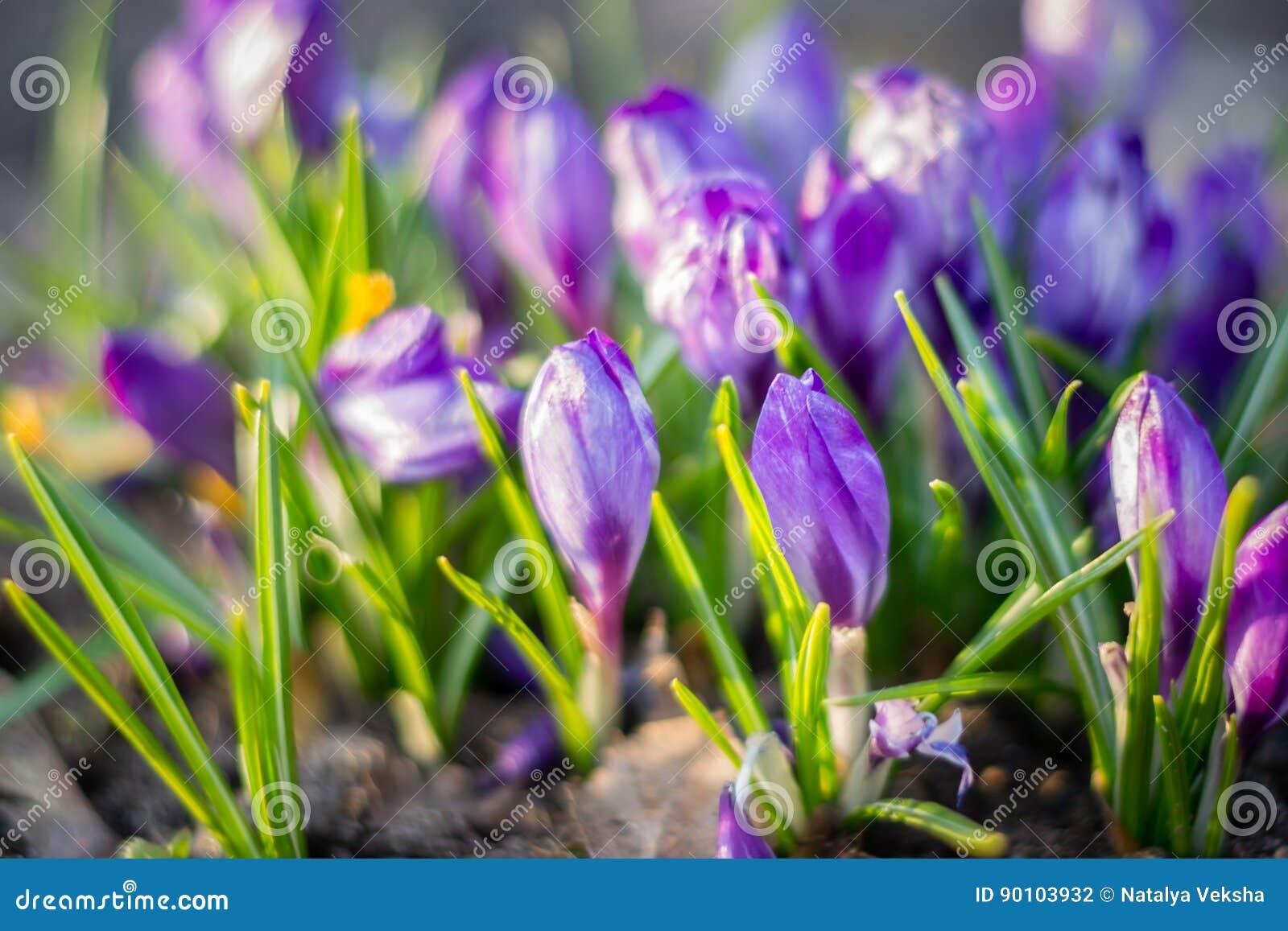 Группа в составе цвести фиолетового крокуса крокусов sativus