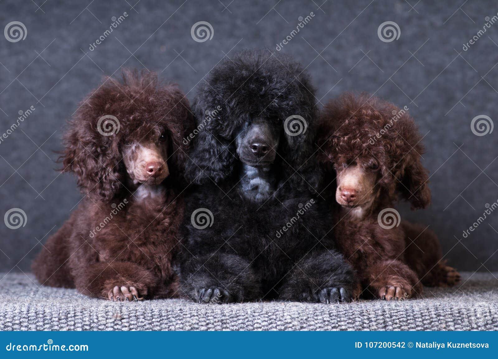Группа в составе щенята пуделя на серой предпосылке на студии