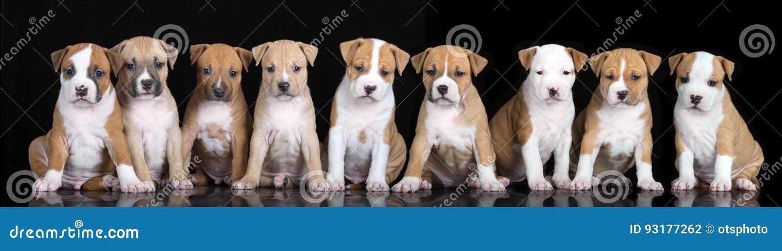 Группа в составе щенята терьера Стаффордшира представляя на черноте