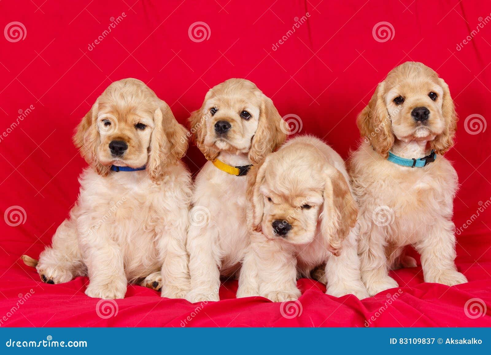 Группа в составе щенята spaniel американского кокерспаниеля
