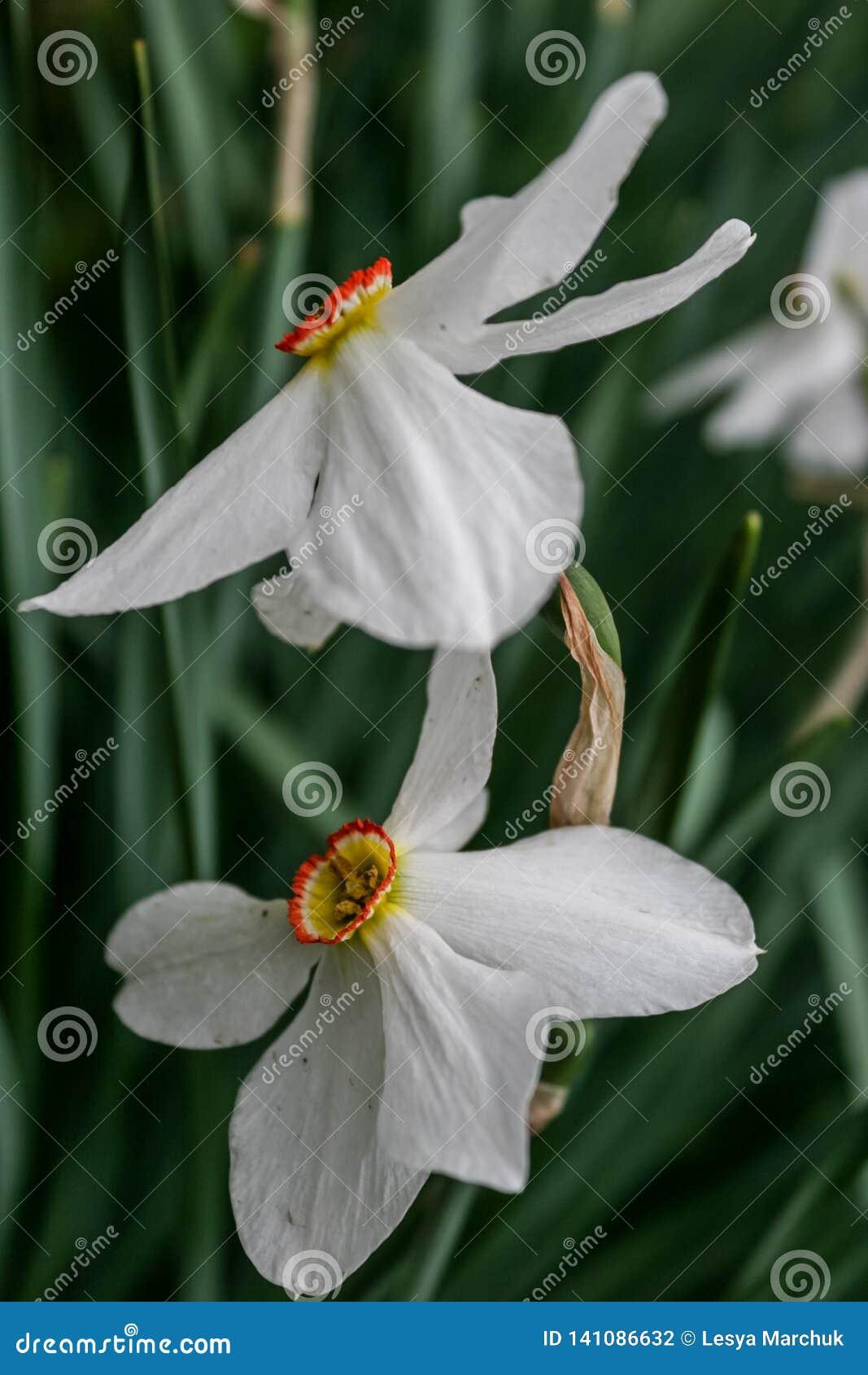 Группа на саде, время Narcissus цветеня daffodil весной