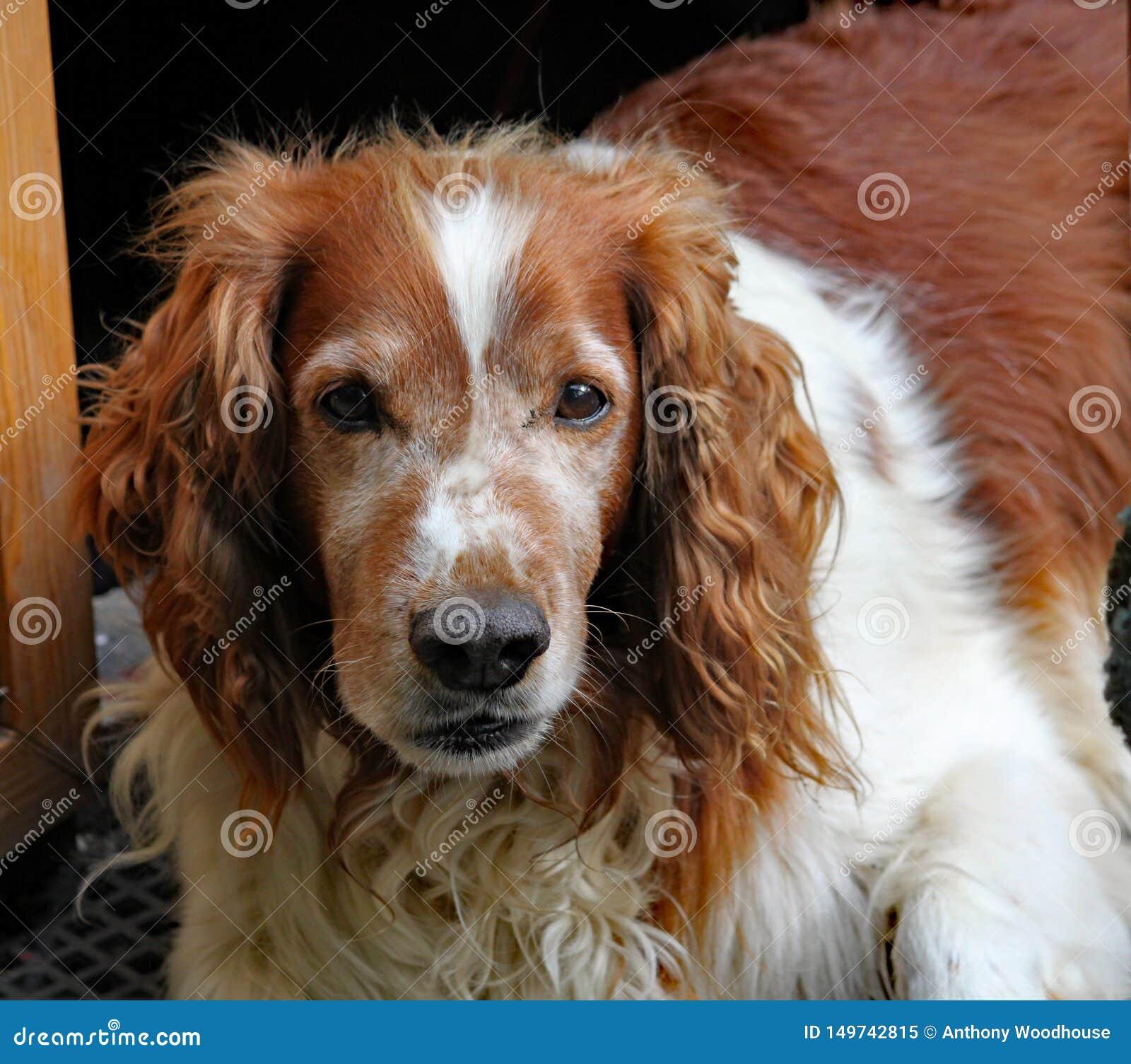 Грустная наблюданная старая собака коричневого цвета и белых наблюдает, как мир идет мимо