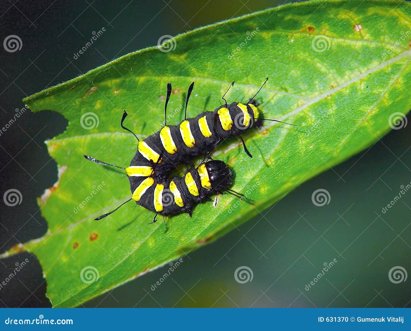 Download гусеница бабочки Apatele Alni Стоковое Фото - изображение насчитывающей лето, волосы: 631370