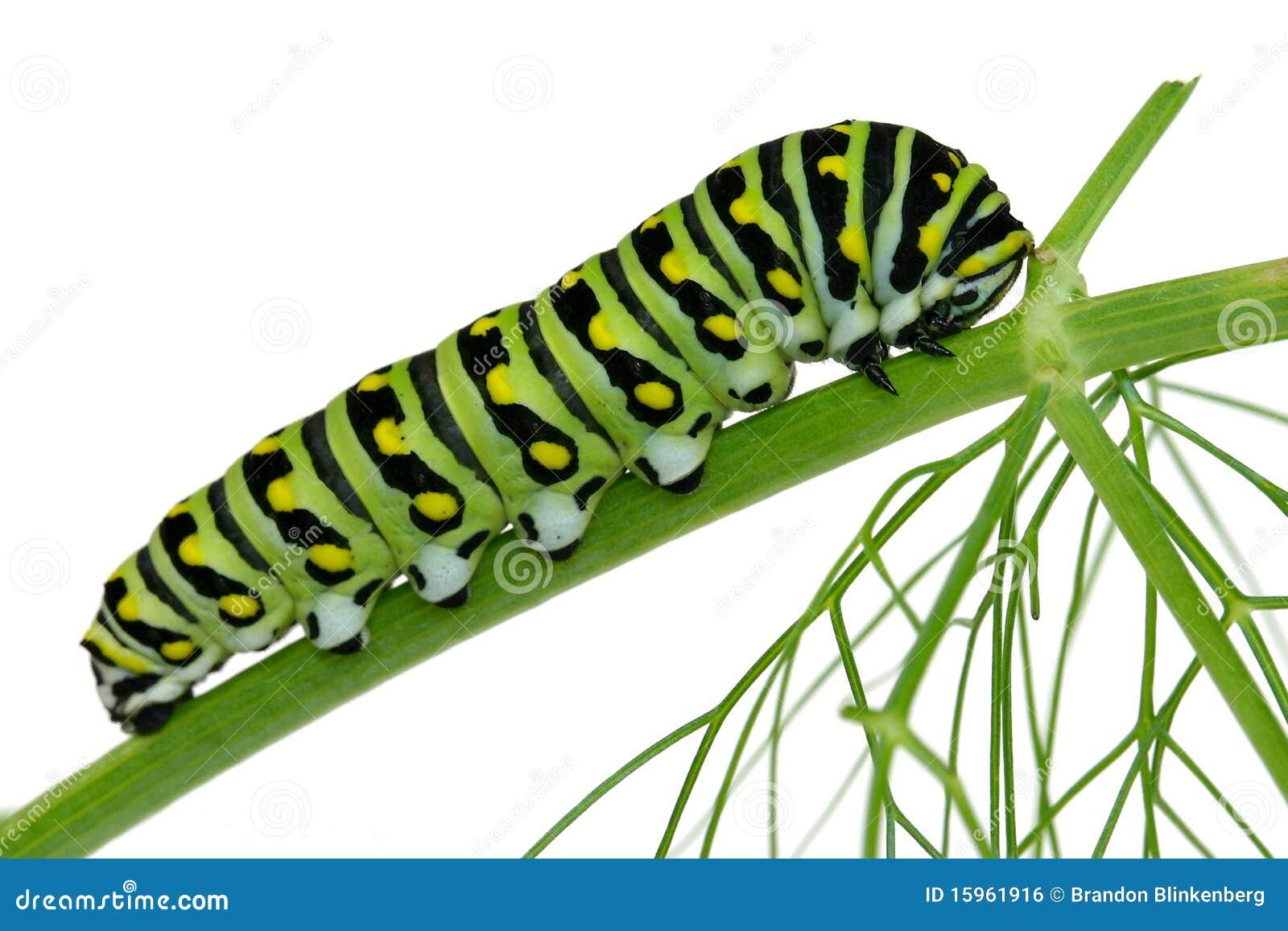 гусеница изолировала swallowtail