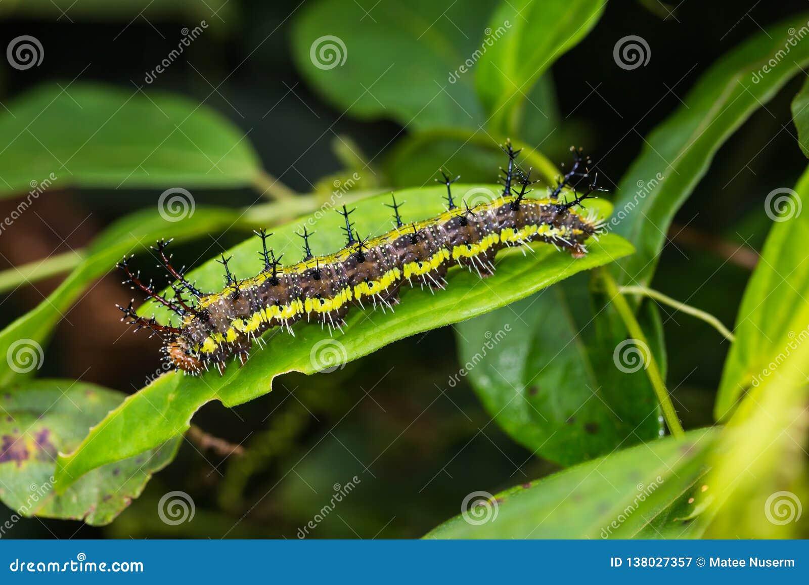 Гусеница Parthenos sylvia клипера