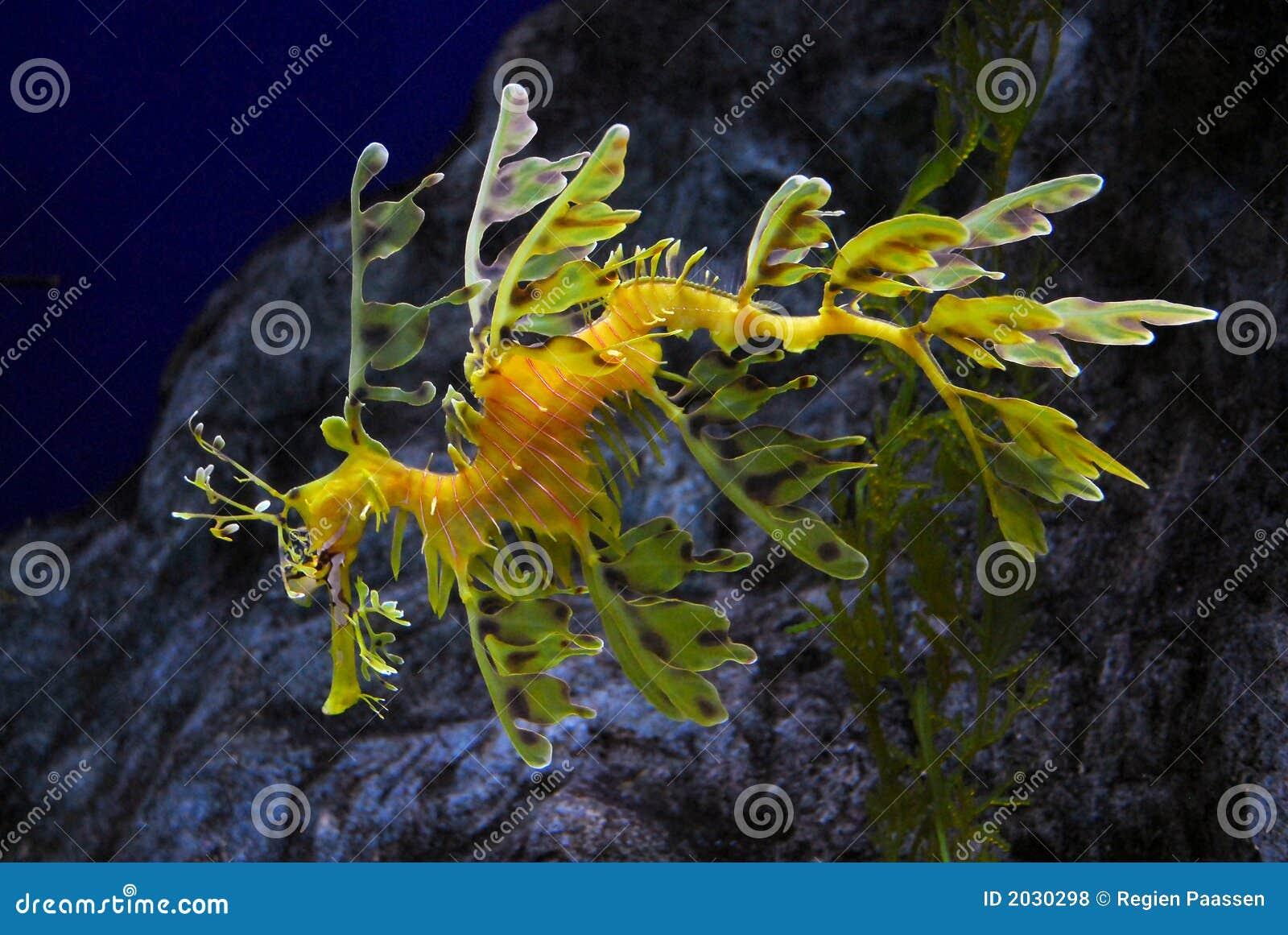 густолиственное seadragon