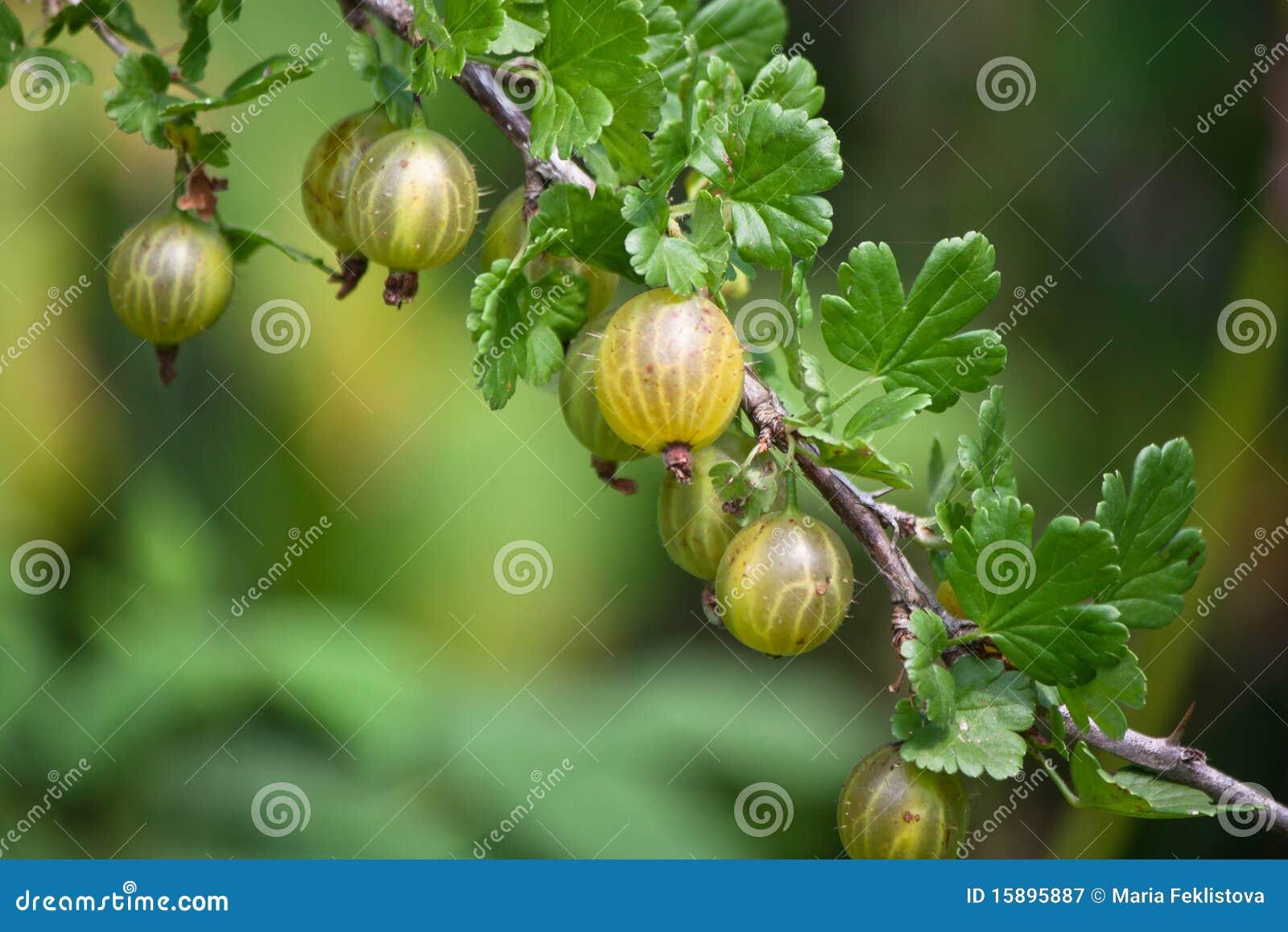 гусына ягод