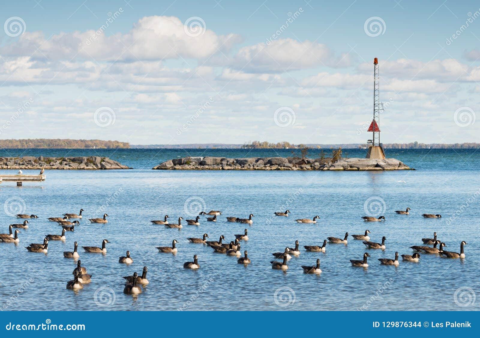 Гусыни Канады на южном береге озера Simcoe в Онтарио