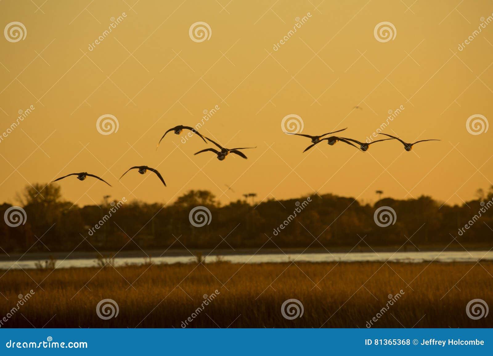 Гусыни Канады летают над пунктом Milford, Коннектикутом на заходе солнца