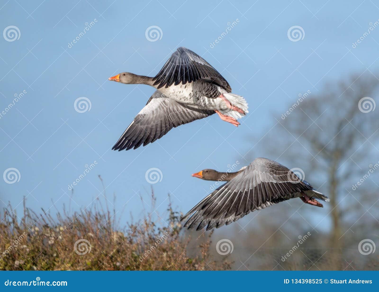 Гусыни Greylag - anser Anser в полете
