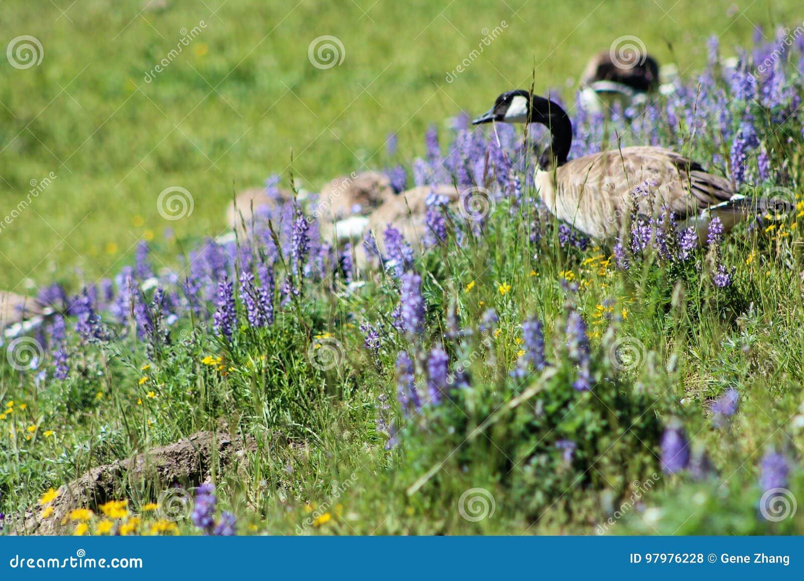 Гусыня Канады в национальном парке Йеллоустона