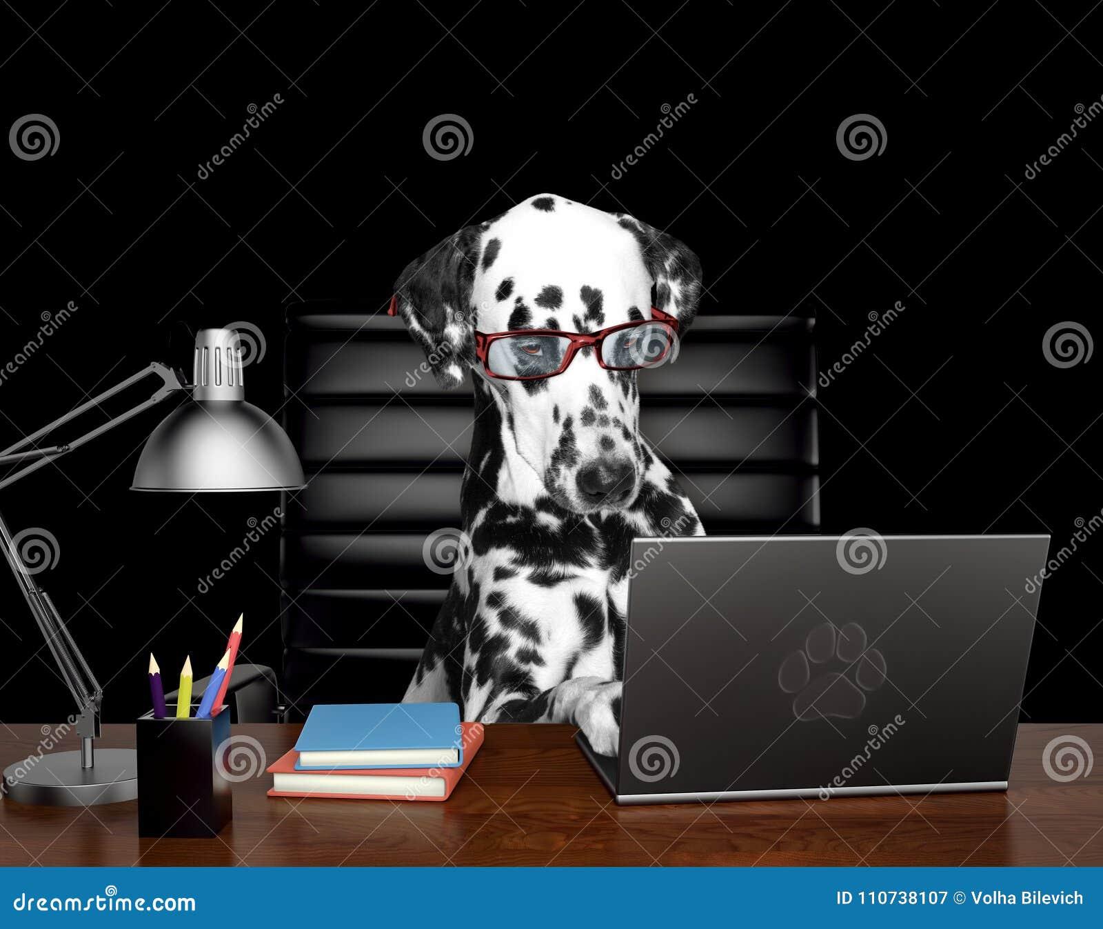 Далматинская собака в стеклах делает некоторую работу на компьютере Изолировано на черноте