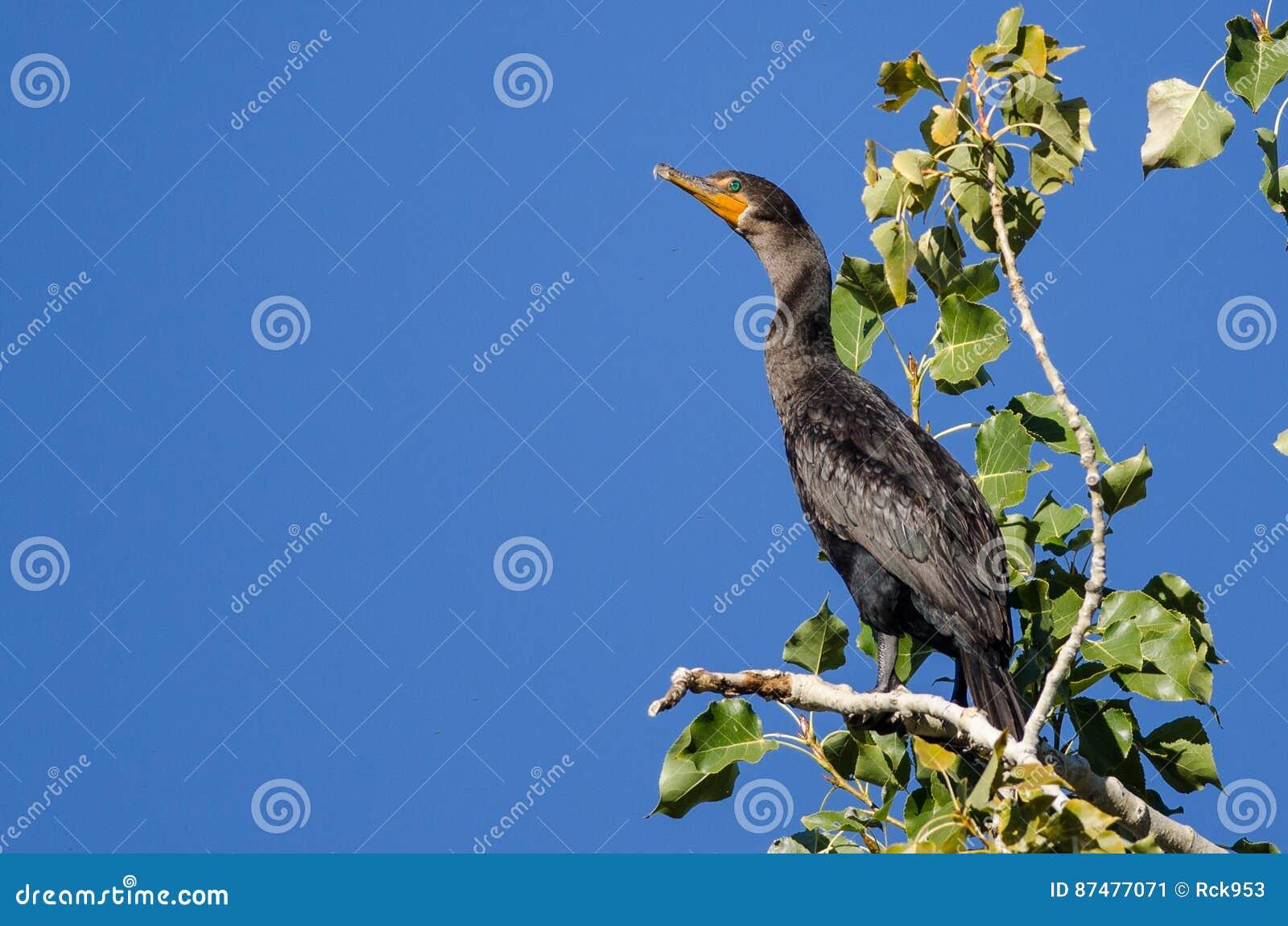 Двух-Crested баклан садить на насест высоко в дереве