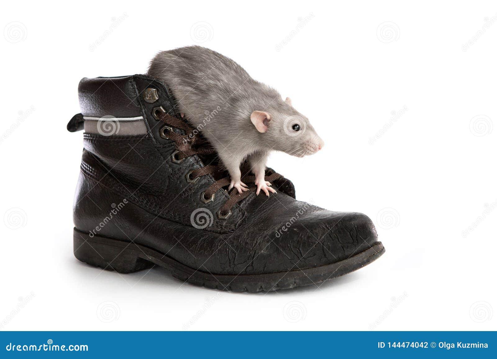 Декоративная крыса в старом ботинке на белой изолированной предпосылке, любимец dumbo