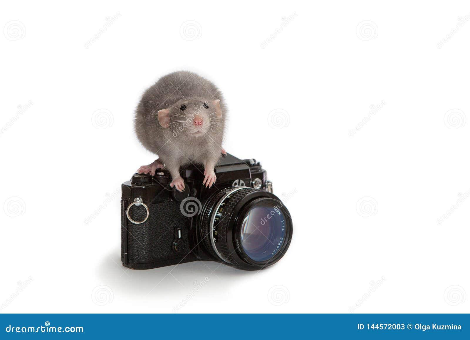 Декоративная крыса dumbo сидя на старой камере на белой изолированной предпосылке Мышь, любимец