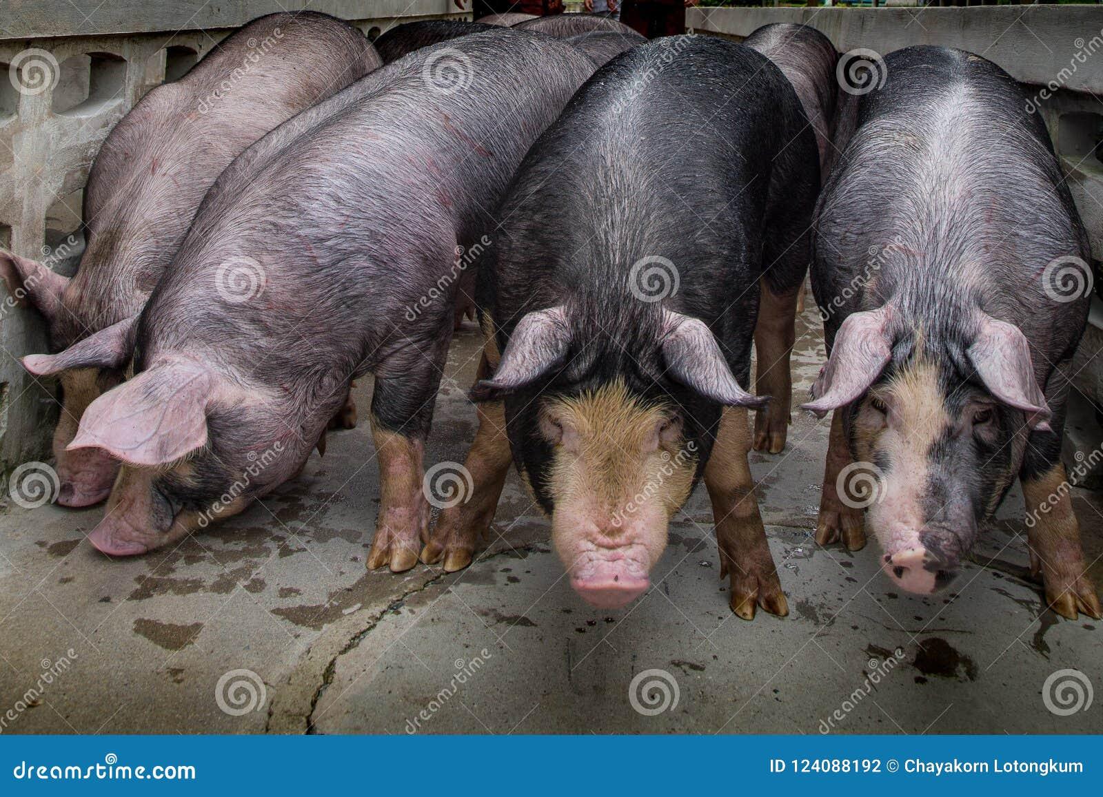 Дело сельского хозяйства свинeй внутри ослабляет время