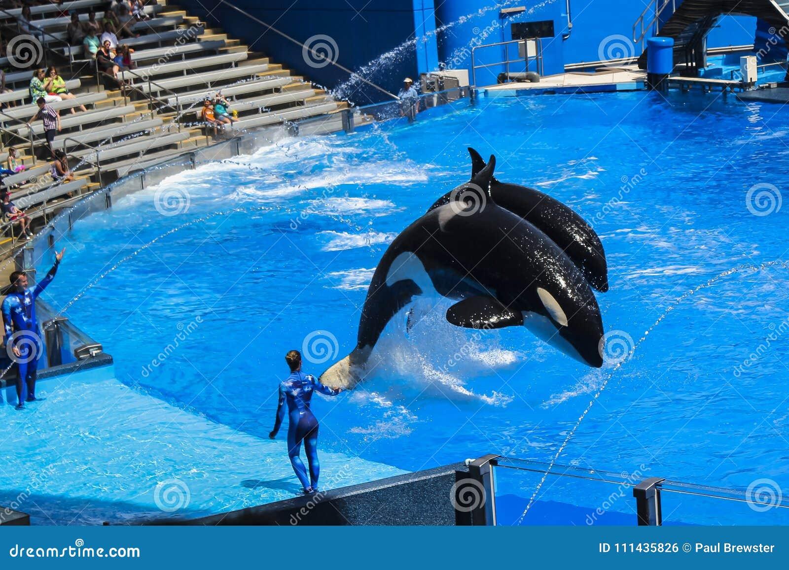 Дельфин-касатки на Shamu показывают мир Орландо Флориду моря