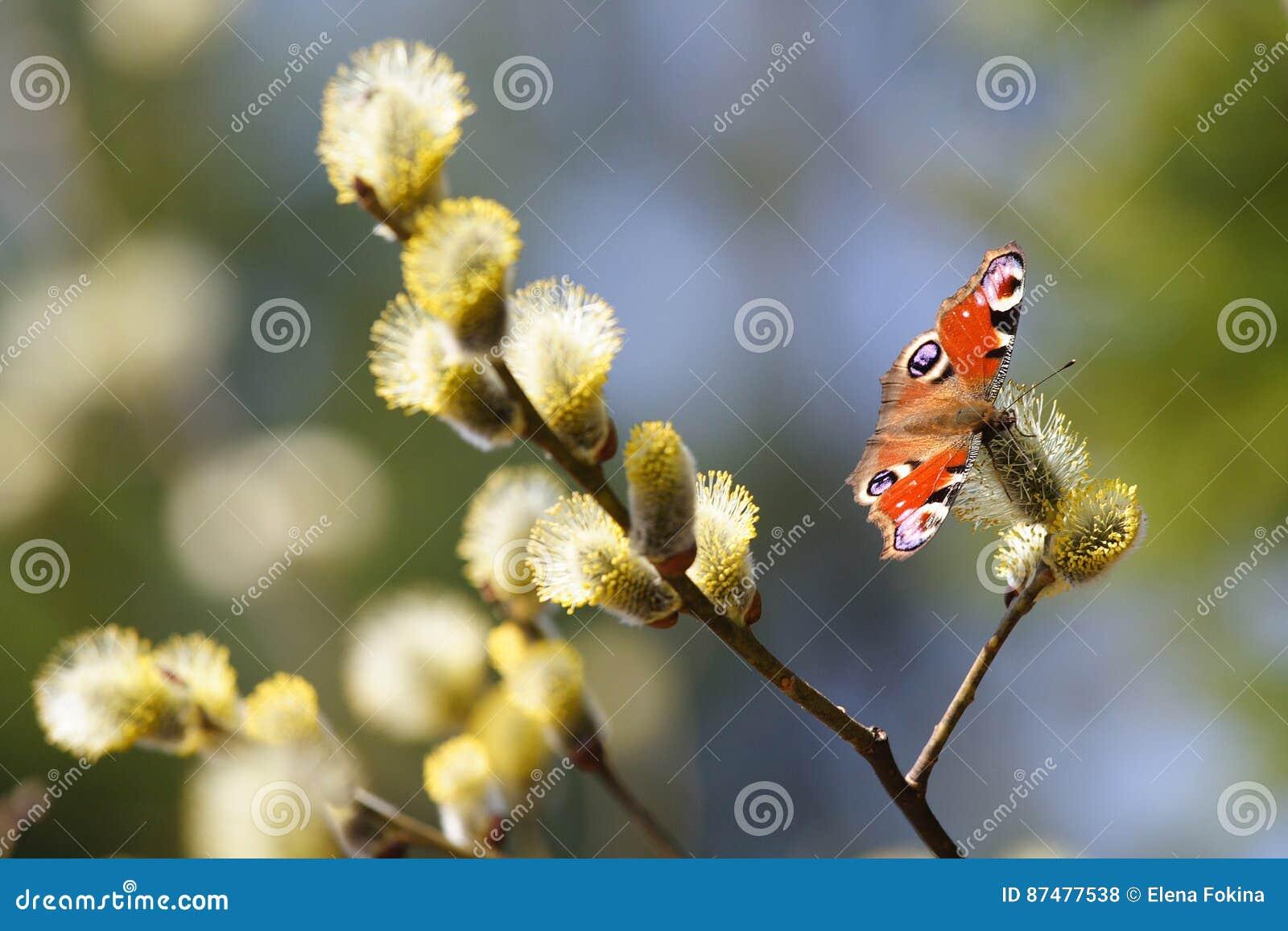 День весны нимфалиды Павлин-глаза бабочки солнечный на воле