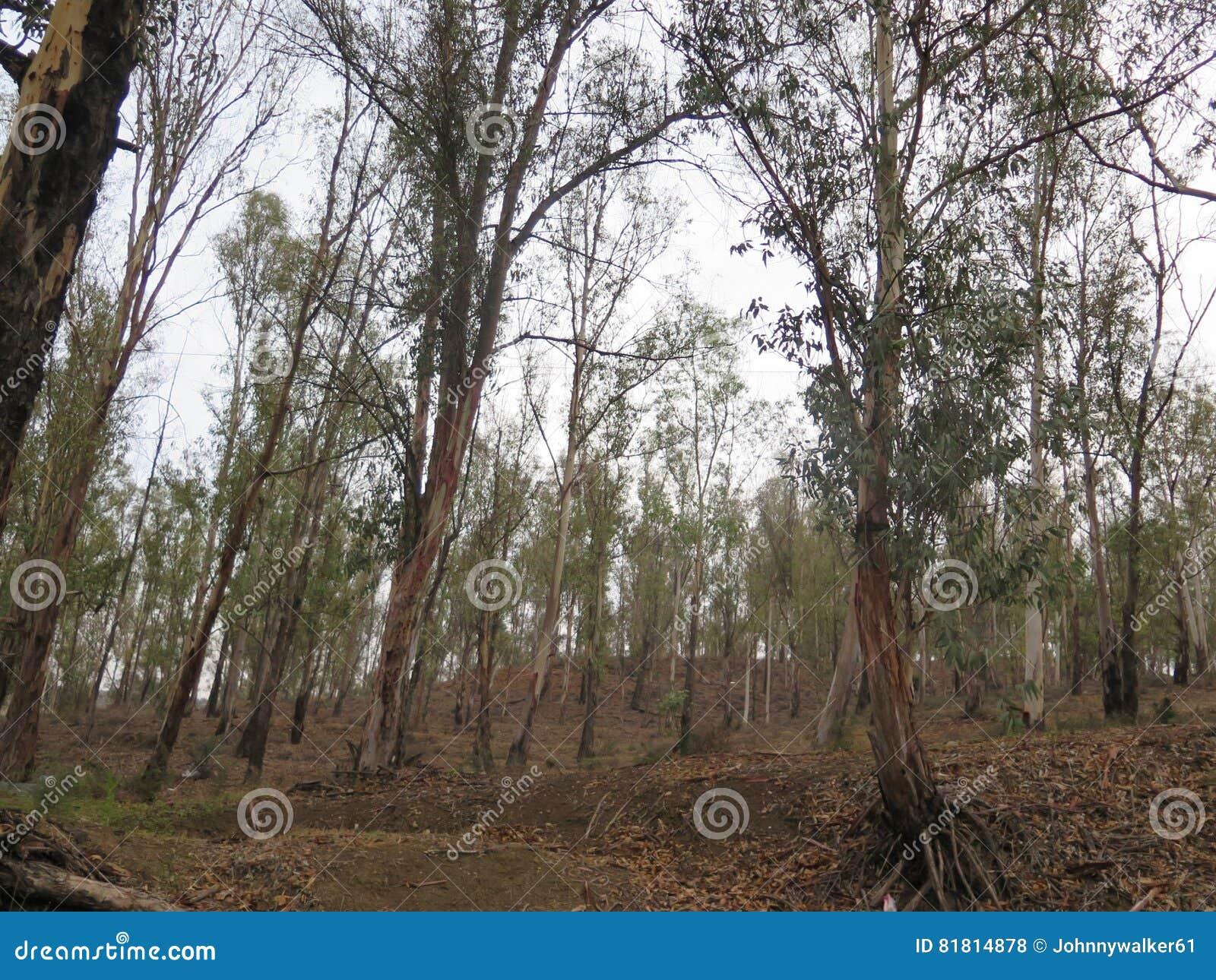 День осени в древесинах евкалипта