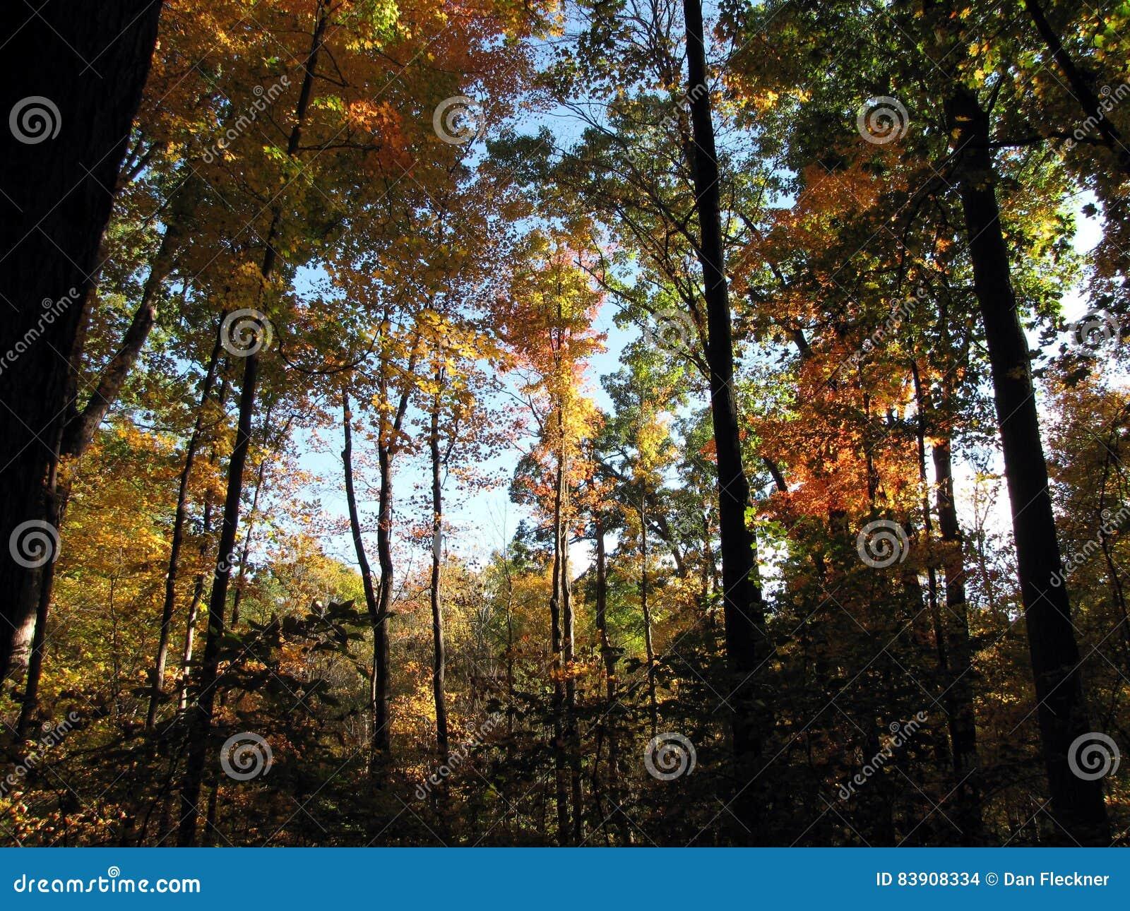 День падения среди деревьев Hickory