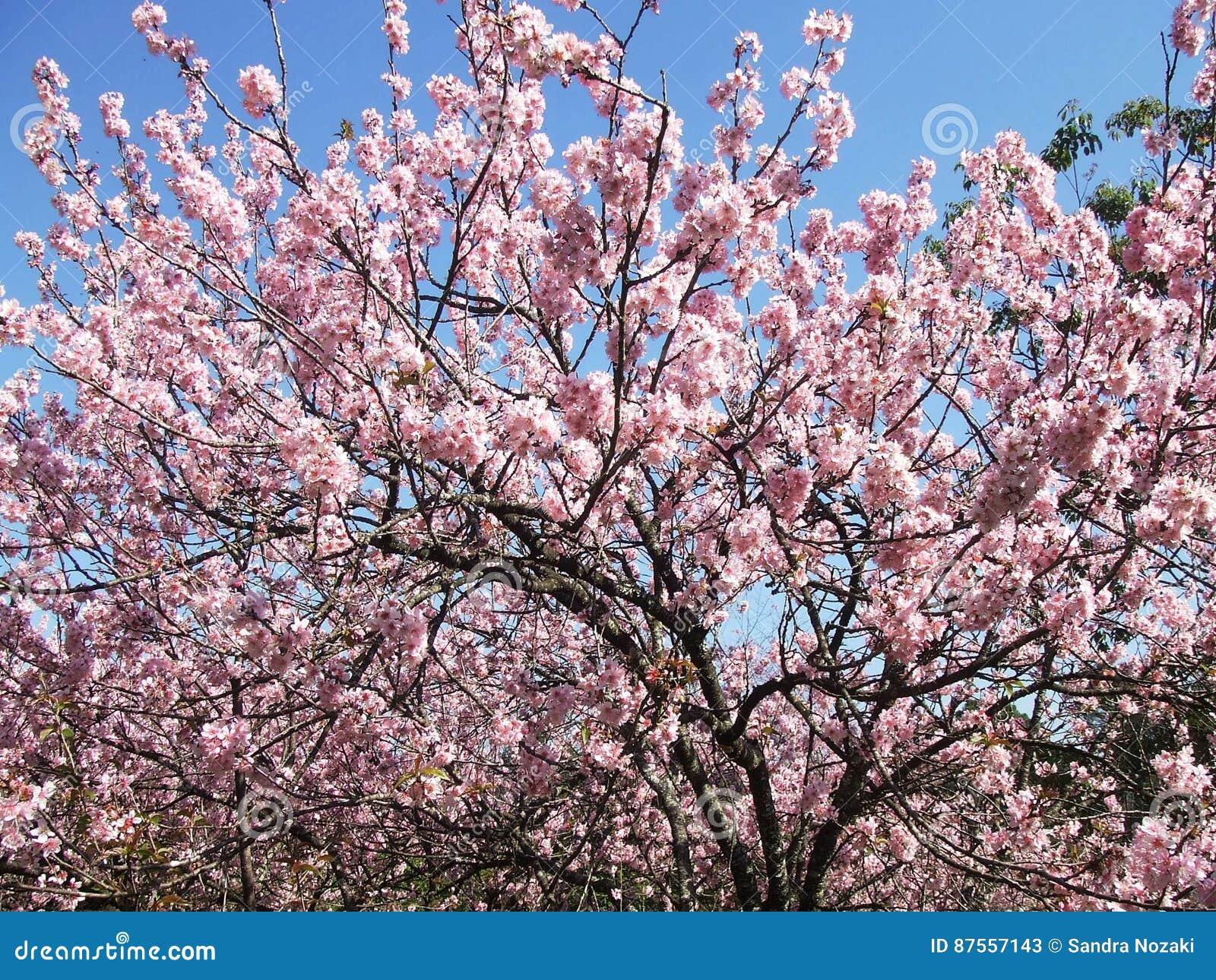 Дерево вишневого цвета