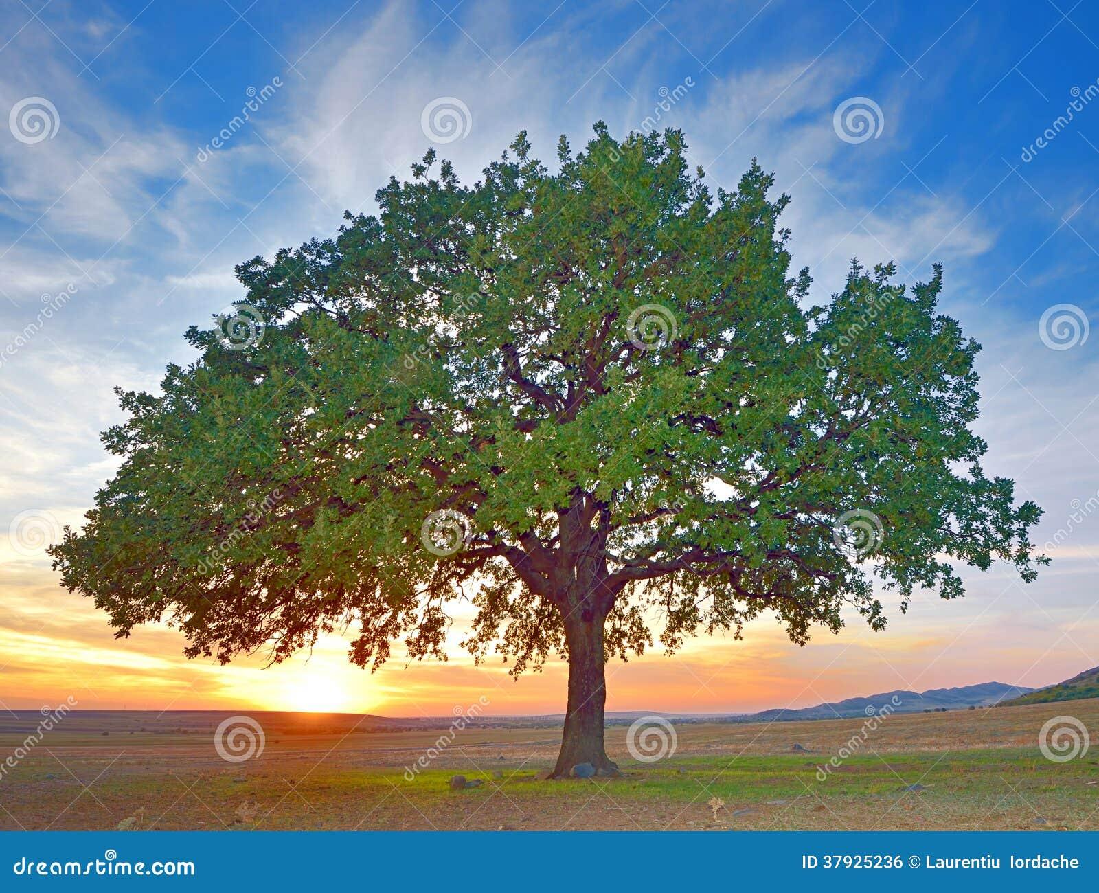 Дерево в лете поля