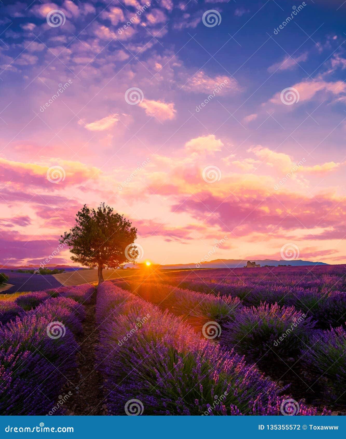 Дерево в поле лаванды на заходе солнца в Провансали