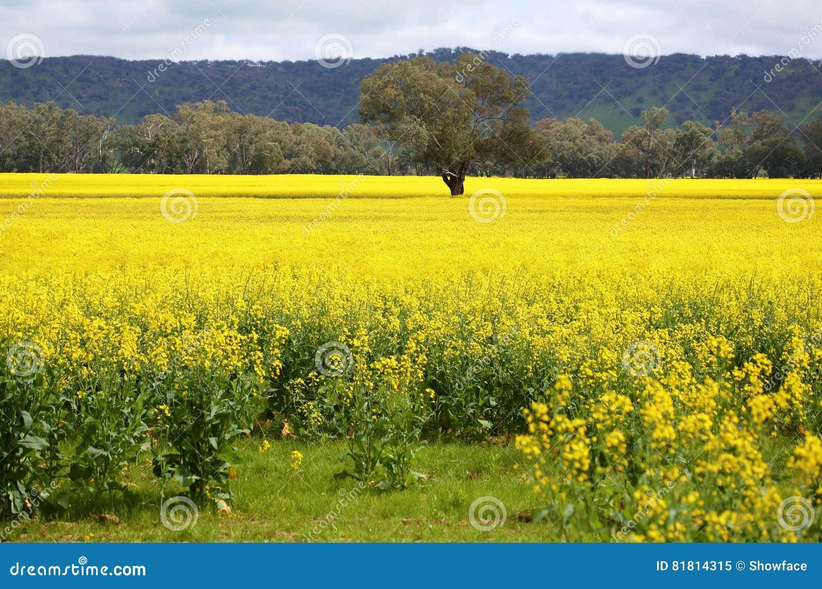 Дерево в середине зацветая золотое канола