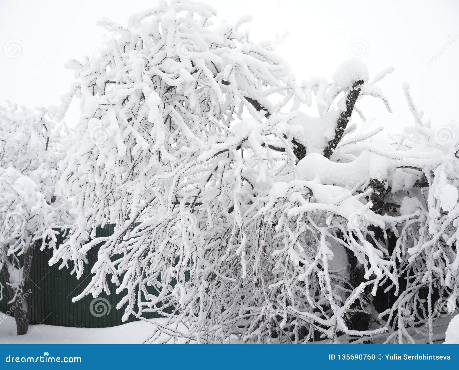 Дерево гнуло из-за огромного слоя снега на своих ветвях