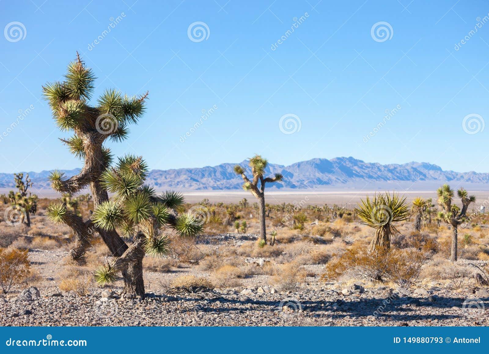 Дерево Иешуа в пустыне Мохаве, Калифорния, Соединенные Штаты