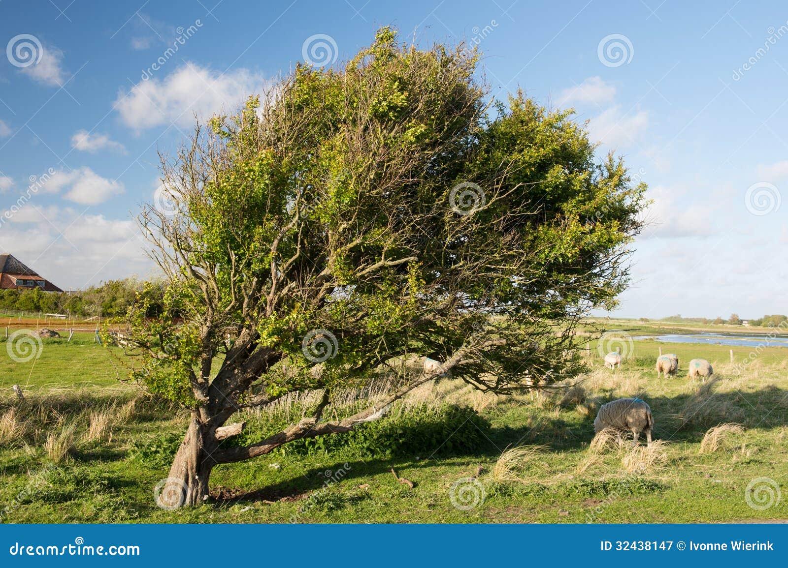 Дерево и овцы в Horspolders на голландце Texel