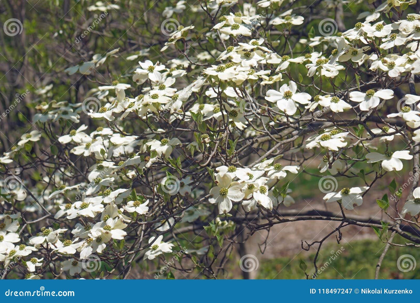Дерево кизила весны Ozark цветя в цветении
