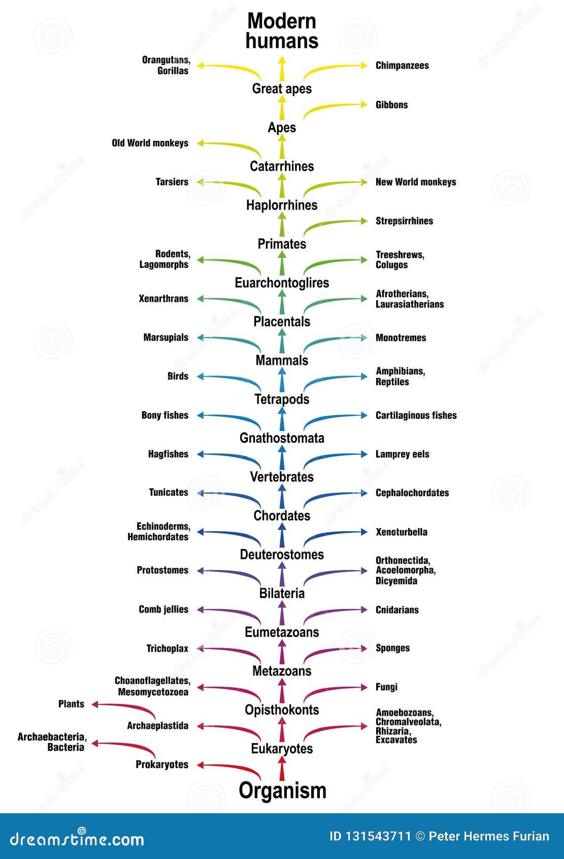 Дерево классификации вида биологии эволюции человека жизни