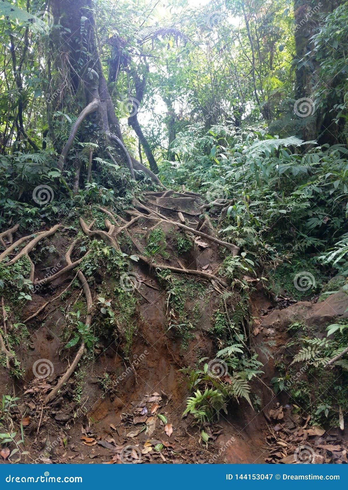 Дерево лестницы корня